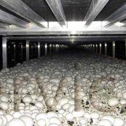 تولید کنندگان قارچ خوراکی